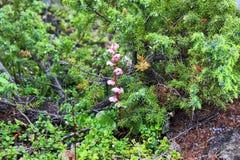 Λουλούδια Taiga Στοκ φωτογραφία με δικαίωμα ελεύθερης χρήσης