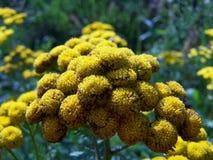 Λουλούδια Tansy στοκ φωτογραφίες με δικαίωμα ελεύθερης χρήσης