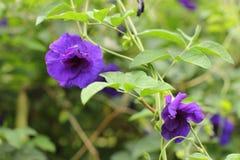 Λουλούδια ternatea Clitoria στοκ εικόνες