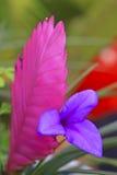 Λουλούδια Tillandsia Στοκ Φωτογραφία