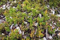 Λουλούδια tundra Στοκ εικόνες με δικαίωμα ελεύθερης χρήσης