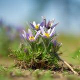Λουλούδιαulsatilla Ð Στοκ Εικόνες