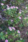 Λουλούδια Vinca Στοκ Εικόνες