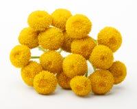 Λουλούδια Vulgare Tanacetum που απομονώνονται Στοκ εικόνες με δικαίωμα ελεύθερης χρήσης