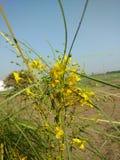 Λουλούδια Yello Στοκ Φωτογραφίες