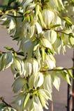 Λουλούδια Yucca Στοκ Εικόνες