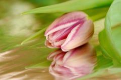 Λουλούδι άνοιξη - ρόδινη τουλίπα με την αντανάκλαση Στοκ εικόνα με δικαίωμα ελεύθερης χρήσης
