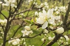 Λουλούδι άνοιξη στα κεράσια στον κήπο Στοκ εικόνες με δικαίωμα ελεύθερης χρήσης
