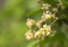Λουλούδι άνοιξη της σταφίδας Στοκ Εικόνα