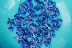 Λουλούδι άνοιξη Scilla στο πιάτο aqua Στοκ Εικόνα