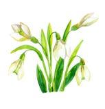 Λουλούδι άνοιξη snowdrop Στοκ φωτογραφίες με δικαίωμα ελεύθερης χρήσης