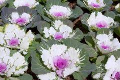 Λουλούδι λάχανων Στοκ φωτογραφία με δικαίωμα ελεύθερης χρήσης
