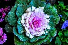 Λουλούδι λάχανων Στοκ εικόνες με δικαίωμα ελεύθερης χρήσης