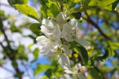 Λουλούδι, δέντρο, άνοιξη, λευκό, άνθος, φύση, πράσινη, εγκαταστάσεις, κήπος, λουλούδια, άνθιση, κλάδος, μήλο, κεράσι, μακροεντολή Στοκ εικόνα με δικαίωμα ελεύθερης χρήσης