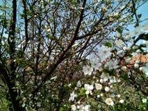 Λουλούδι δέντρων δαμάσκηνων Στοκ Φωτογραφίες