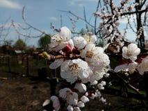 Λουλούδι δέντρων δαμάσκηνων Στοκ Εικόνες