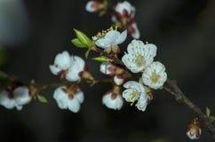 Λουλούδι δέντρων βερικοκιών στο βράδυ Στοκ Φωτογραφίες