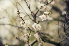 Λουλούδι δέντρων βερικοκιών Στοκ φωτογραφία με δικαίωμα ελεύθερης χρήσης