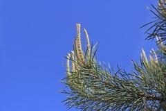 Λουλούδι δέντρων πεύκων Στοκ φωτογραφίες με δικαίωμα ελεύθερης χρήσης