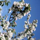 Λουλούδι δέντρων της Apple που ανθίζει στο χρόνο άνοιξη Στοκ Εικόνα