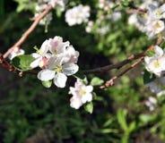 Λουλούδι δέντρων της Apple που ανθίζει στο χρόνο άνοιξη Στοκ φωτογραφίες με δικαίωμα ελεύθερης χρήσης