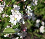 Λουλούδι δέντρων της Apple που ανθίζει στο χρόνο άνοιξη Στοκ Φωτογραφία