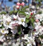 Λουλούδι δέντρων της Apple που ανθίζει στο χρόνο άνοιξη Στοκ φωτογραφία με δικαίωμα ελεύθερης χρήσης