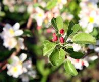 Λουλούδι δέντρων της Apple που ανθίζει στο χρόνο άνοιξη Στοκ Εικόνες
