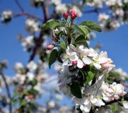 Λουλούδι δέντρων της Apple που ανθίζει στο χρόνο άνοιξη Στοκ εικόνες με δικαίωμα ελεύθερης χρήσης