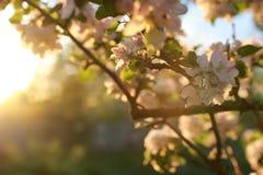 Λουλούδι δέντρων της Apple στο ηλιοβασίλεμα Στοκ Εικόνα