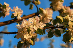 Λουλούδι δέντρων της Apple στο ηλιοβασίλεμα Στοκ φωτογραφία με δικαίωμα ελεύθερης χρήσης