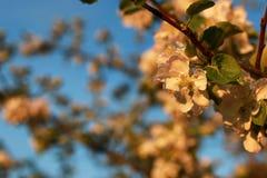 Λουλούδι δέντρων της Apple στο ηλιοβασίλεμα Στοκ εικόνα με δικαίωμα ελεύθερης χρήσης
