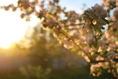 Λουλούδι δέντρων της Apple στο ηλιοβασίλεμα Στοκ φωτογραφίες με δικαίωμα ελεύθερης χρήσης
