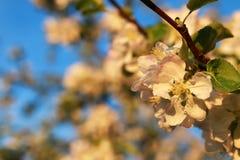Λουλούδι δέντρων της Apple στο ηλιοβασίλεμα Στοκ εικόνες με δικαίωμα ελεύθερης χρήσης