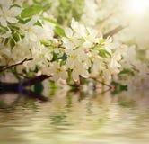 Λουλούδι δέντρων της Apple Στοκ εικόνα με δικαίωμα ελεύθερης χρήσης