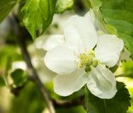 Λουλούδι δέντρων της Apple Στοκ φωτογραφίες με δικαίωμα ελεύθερης χρήσης