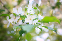 Λουλούδι δέντρων της Apple Στοκ Φωτογραφίες