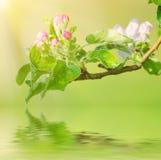 Λουλούδι δέντρων της Apple Στοκ φωτογραφία με δικαίωμα ελεύθερης χρήσης