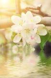 Λουλούδι δέντρων της Apple Στοκ εικόνες με δικαίωμα ελεύθερης χρήσης