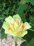 Λουλούδι δέντρων Στοκ Εικόνα