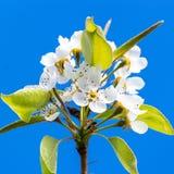 Λουλούδι δέντρων ` s αχλαδιών Στοκ Φωτογραφίες