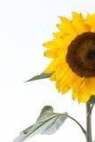 Λουλούδι ήλιων μισό, απομονωμένος, για το υπόβαθρο Στοκ εικόνα με δικαίωμα ελεύθερης χρήσης