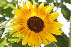Λουλούδι ήλιων λουλουδιών τομέων ηλίανθων Στοκ εικόνες με δικαίωμα ελεύθερης χρήσης