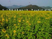Λουλούδι ήλιων στην Ταϊλάνδη Στοκ Εικόνες