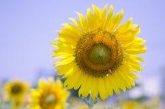 Λουλούδι ήλιων στοκ εικόνα με δικαίωμα ελεύθερης χρήσης