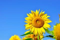 Λουλούδι ήλιων στοκ φωτογραφία