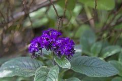 Λουλούδι ή Heliotropium βανίλιας arborescens Στοκ εικόνα με δικαίωμα ελεύθερης χρήσης