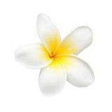 Λουλούδι ή Plumeria Frangipani που απομονώνεται στο λευκό Στοκ φωτογραφία με δικαίωμα ελεύθερης χρήσης