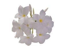 Λουλούδι ή Plumeria Frangipani Ψαλιδίζοντας μονοπάτι Στοκ Φωτογραφίες