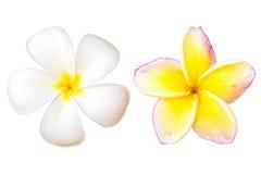 Λουλούδι ή Plumeria Frangipani Στοκ φωτογραφία με δικαίωμα ελεύθερης χρήσης